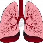 13453898-bronchialsystem-menschliche-lungen